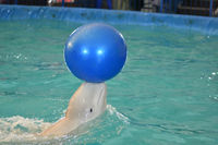 Belukha (LAT. Delphinapterus leucas) type of toothed whales performs an exercise with a ball
