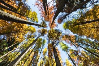 upward view of dawn redwood woods in autumn