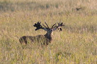 Red Deer (Cervus elaphus)  Germany