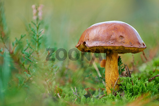 Pilz in der Moosheide Senne