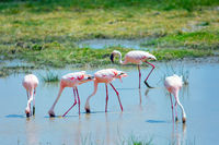 Flamingos in a shallow pool