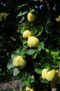 Cydonia oblonga, Quitte. Quince