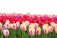 Spring coloful tulip bulb flower field isolated on white background