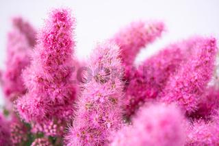 Pink Spirea flowers on bush. Spiraea flowers decorative gardening management