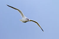 European Herring Gull adult bird in winter plumage on the North Sea coast