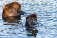 Brown bear cub with she-bear fishing red salmon fish in river during spawning