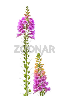Common foxglove growing tall