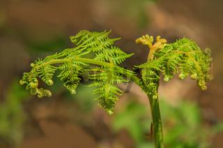Adlerfarn 'Pteridium aquilinum'  junge Triebe