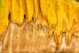 dying banana leaf in green and yellow colors