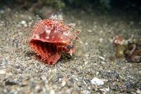 Shortfin Turkeyfish, Short-spined Butterfly-cod, Short-spined Scorpionfish