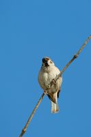 Sparrow on a branch, blue sky