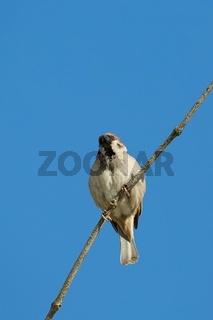 Sparrow on a branch, blue sky