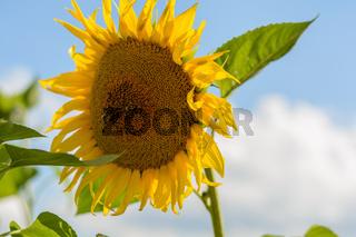 Biene bestäubt eine Sonnenblume