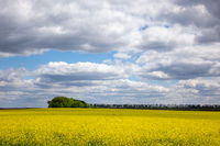 Natural landscape background with flowering rapeseed plant.