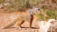 yellow mongoose, Kgalagadi Transfrontier National Park, South Africa