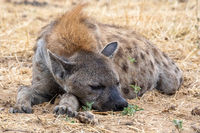 Hyena at Etosha National Park, Namibia