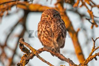 Steinkauz ,little owl,