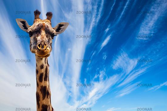 Funny Portrait of Giraffe
