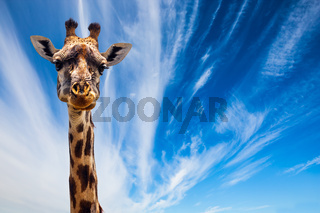 Funny Portrait of Giraffe