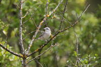 lesser whitethroat (Curruca curruca) Germany