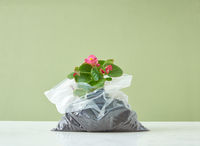 Blooming evergreen houseplant in a plastic bag on a duotone background.