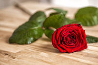red rose on Valentine's day