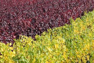 Weinberge mit Weinreben für Rotwein und Weißwein