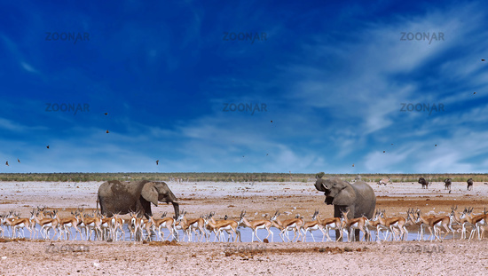 elephants and springboks at a waterhole, Etosha National Park, Namibia, (Loxodonta africana)