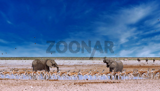 Elefanten und Springböcke am Wasserloch, Etosha-Nationalpark, Namibia, (Loxodonta africana) | elephants and springboks at a waterhole, Etosha National Park, Namibia, (Loxodonta africana)