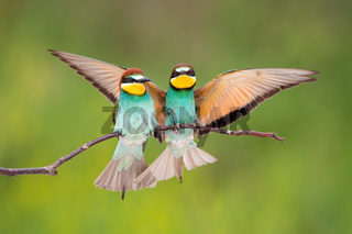 Two european bee-eater sitting on bough in summer.