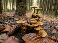 Close up view of several mushrooms in a beautiful autumn forest scenery.