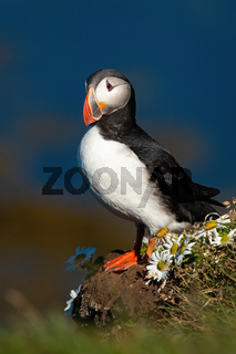 Atlantic puffin standing on cliff in summertime.
