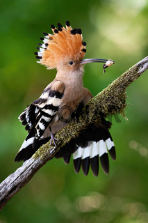 Attentive eurasian hoopoe with open crest holding insect larva in beak