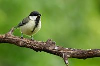 Juvenil great tit