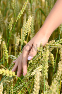 Female hands with wheat ears on a wheaten field
