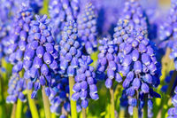 Group of blue grape hyacinths in spring