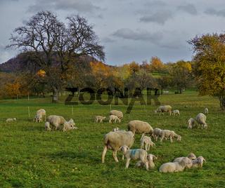 Schafherde mit Lämmer auf der Herbstweide