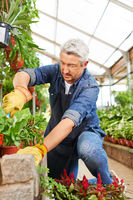 Gärtner arbeitet im Gewächshaus