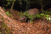 European boar,