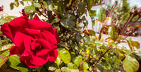 Single deep red rose and green leaves with blurred background