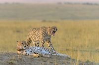 Two cheetahs, Acinonyx jubatus, Maasai Mara National Reserve, Kenya, Africa