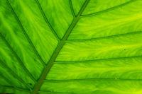 green alocasia odora leaf