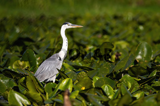 Majestic grey heron standing on swamp in summer nature.