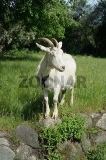 weiße Ziege, behörnt