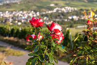 View of the Mosel valleyand rose petals