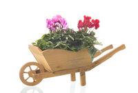 Cyclamen in wheelbarrow