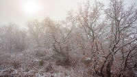 Oak tree forest in winter with snow and fog