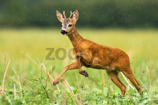 Young roe deer buck with small antlers caught in action of running in high speed