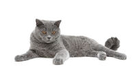 beautiful gray cat isolated on white background