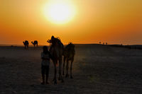 rider with camels in the desert at sunset